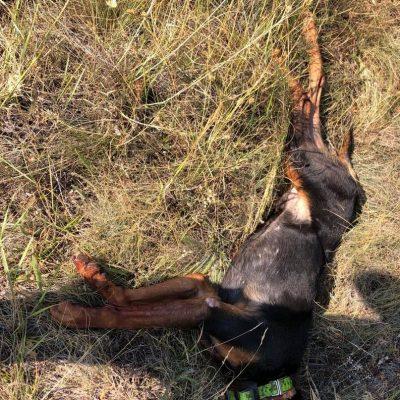 Κυνηγετικός Σύλλογος Εορδαίας: Eπίθεση λύκου, με θύμα σκύλο, σε δασική περιοχή της Τ.Κ Ποντοκώμης του Δήμου Κοζάνης (Φωτογραφία)