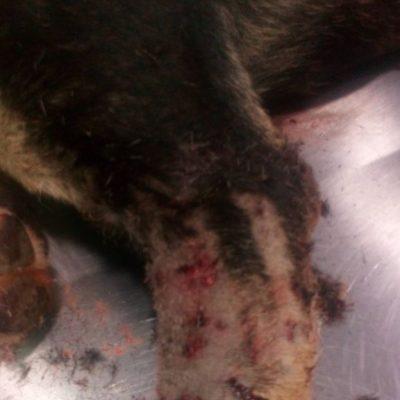 kozan.gr: Υπόθεση με τον πυροβολισμό και τραυματισμό ενός αδέσποτου σκύλου στην Σιάτιστα διερευνούν οι αστυνομικές αρχές