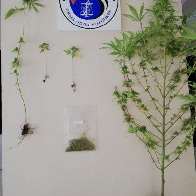 Συνελήφθη 52χρονος στην Πτολεμαΐδα για καλλιέργεια δενδρυλλίων κάνναβης (Φωτογραφία)
