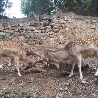 """kozan.gr: Βίντεο με δύο αρσενικά ζαρκάδια, στο πάρκο του Άγιου Παντελεήμονα, στο χωριό Άγιος Δημήτριος Κοζάνης και τα """"παιχνίδια μάχης"""" με τα κέρατά τους"""