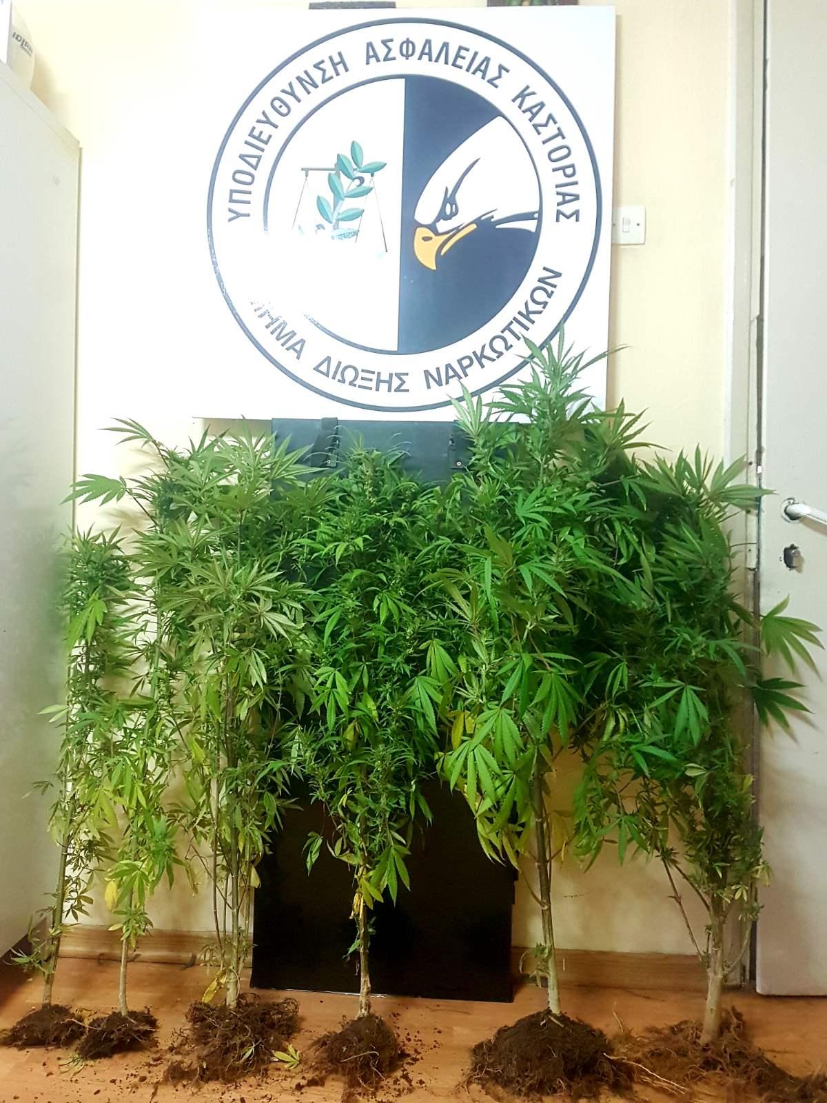 Συνελήφθη 73χρονος σε περιοχή της Καστοριάς για καλλιέργεια δενδρυλλίων κάνναβης και κατοχή ναρκωτικών ουσιών (Φωτογραφία)