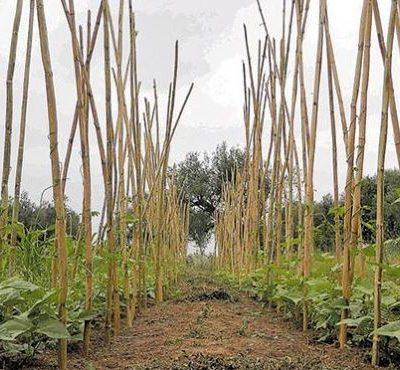 Σήμα κινδύνου εκπέμπει η παραδοσιακή καλλιέργεια του καλαμωτού φασολιού στη Δυτική Μακεδονία